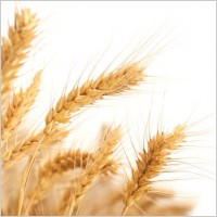 wheat_04_hd_picture_169222